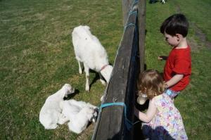 Grimsbury baby goats