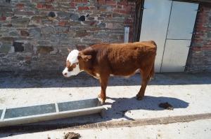 Grimsbury calf