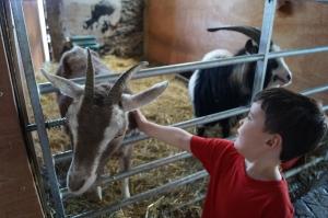 Grimsbury goats touching