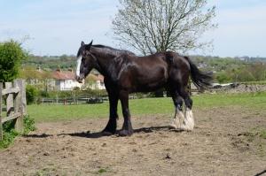 Grimsbury horse