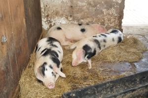 Grimsbury pigs