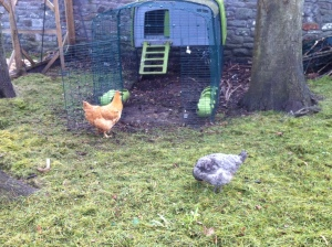 Two of our chickens