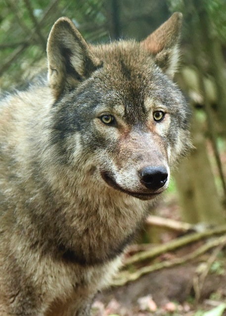 Wolf close up 3 (1)